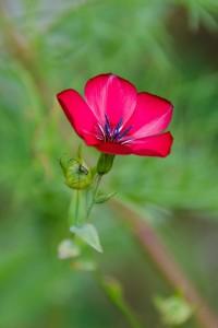 gille petite fleurs rouge